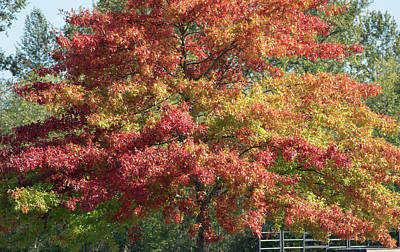 Photograph - Blazing Tree In Hillcrest Park by Tom Cochran