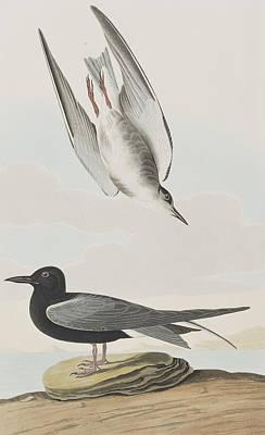 Blck Tern Art Print