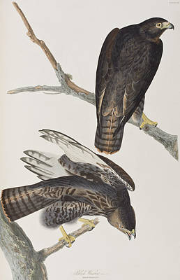 Hawk Painting - Blck Warrior by John James Audubon