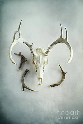 Photograph - Bleached Stag Skull by Stephanie Frey
