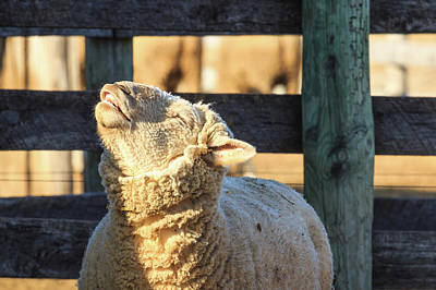 Photograph - Bleating Sheep by Joni Eskridge