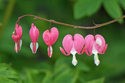 Photograph - Bleeding Heart by Alan Lenk