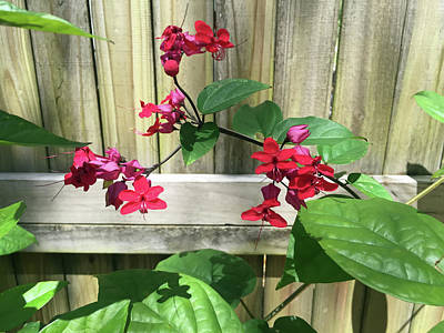Photograph - Bleeding Heart Clerodendrum 2 by Aimee L Maher Photography and Art Visit ALMGallerydotcom