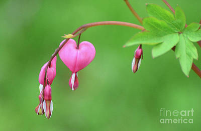 Photograph - Bleeding Hearts by Cindy Manero