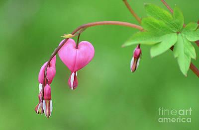 Photograph - Bleeding Hearts by Cindy Manero