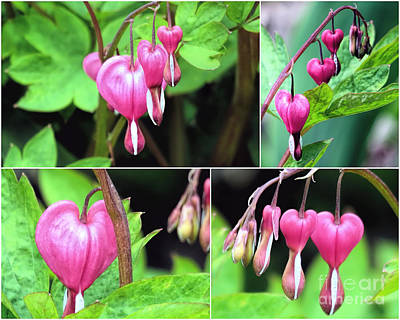 Photograph - Bleeding Hearts Collage  by Janice Drew