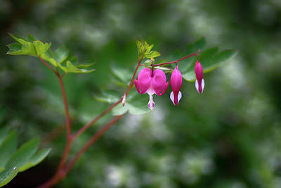 Photograph - Bleeding Hearts by Dan Hefle