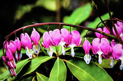 Wall Art - Photograph - Bleeding Hearts by Jessica Manelis