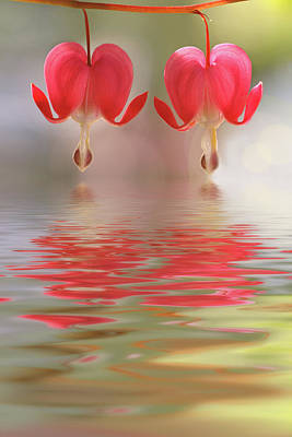 Photograph - Bleeding Hearts - Reflections Of Love by Peggy Collins