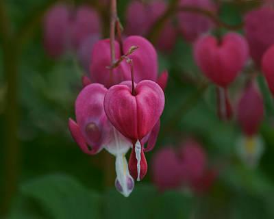 Photograph - Bleeding Hearts by Nikolyn McDonald