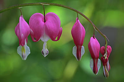 Bleeding Hearts On A Line Art Print by Juergen Roth