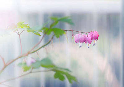 Bleeding Hearts Photograph - Bleeding by Rebecca Cozart