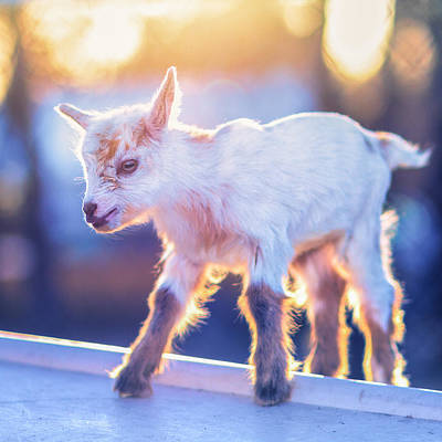 Mammals Photos - Little Baby Goat Sunset by TC Morgan
