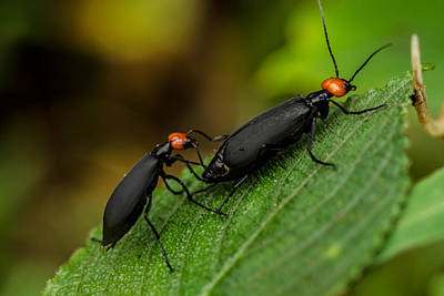 Photograph - Blister Beetles by Ramabhadran Thirupattur