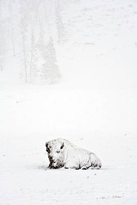 Photograph - Blizzard Winter Buffalo by Craig J Satterlee
