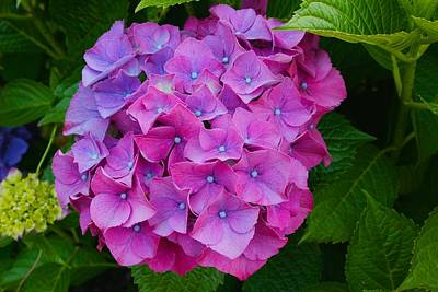 Photograph - Block Island Hydrangea by Polly Castor