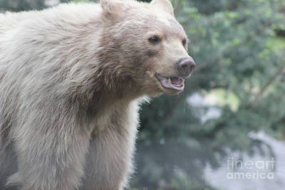 Photograph - Blond Black Bear by Wilko Van de Kamp