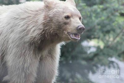 Photograph - Blond Black Bear by Wilko Van de Kamp