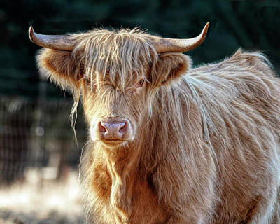 Photograph - Blond Scottish Highland by Wes and Dotty Weber