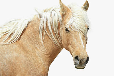 Photograph - Blonde Stallion II by Athena Mckinzie