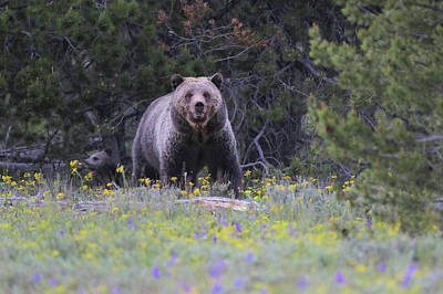 Photograph - Blondie Grizzly And Her Cub by Dan Sproul