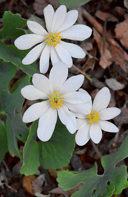 Photograph - Blood Root Trio by Shari Jardina