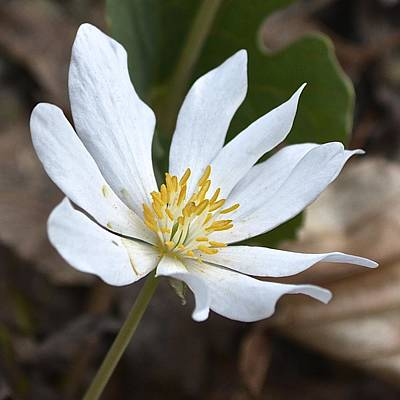 Photograph - Bloodroot 2 by Tana Reiff