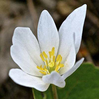 Photograph - Bloodroot 3 by Tana Reiff