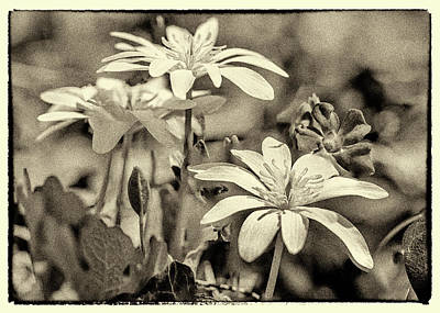 Bloodroot And Vinca Wildflowers - Sepia Art Print by Mother Nature