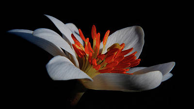 Photograph - Bloodroot Art by Patti Deters