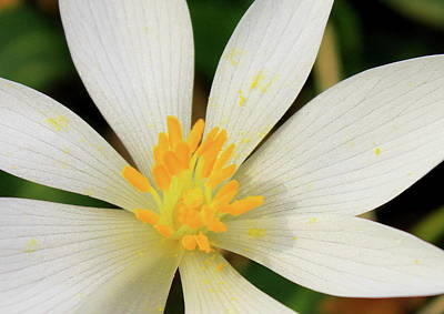 Bloodroot Photograph - Bloodroot Closeup by John Burk