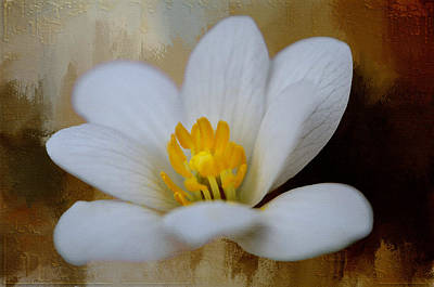 Photograph - Bloodroot by Diana Boyd