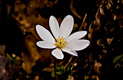 Bloodroot Bloom Art Print by Michael Whitaker