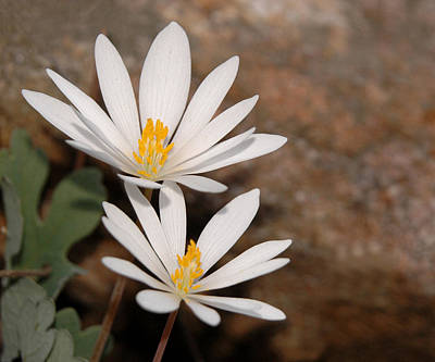 Bloodroot Photograph - Bloodroot Flowers by Lara Ellis