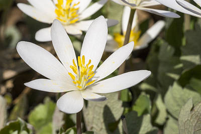 Photograph - Bloodroot Flowers 3 by Steven Ralser