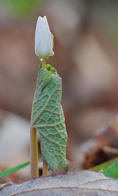 Photograph - Bloodroot by Jim Zablotny