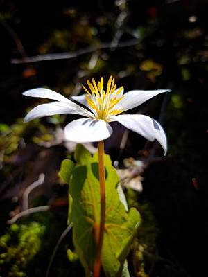 Photograph - Bloodroot Plant by Brook Burling