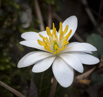 Photograph - Bloodroot by Tyson and Kathy Smith
