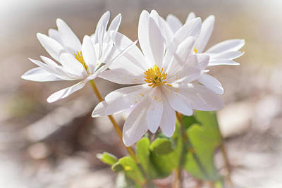 Photograph - Bloodroot Wildflowers In The Sun - Sanguinaria Canadensis by Mother Nature