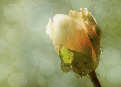 Photograph - Bloodroot Bud by Patti Deters