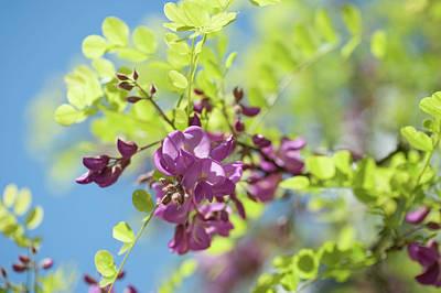 Photograph - Bloom Of Purple Acacia Tree by Jenny Rainbow