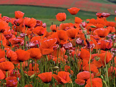 Red Photograph - Bloom Red Poppy Field by Heiko Koehrer-Wagner