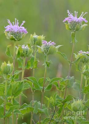 Photograph - Bloomin Bee Balm 2 by Maria Urso