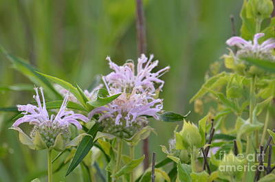 Photograph - Bloomin Bee Balm by Maria Urso