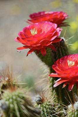 Photograph - Bloomin' Cacti by Barbara Manis