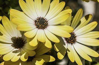 Photograph - Bloomin Daisies by Carlos Caetano