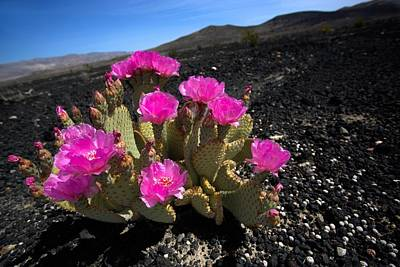 Photograph - Bloomin' Desert by David Andersen