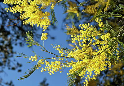 Photograph - Blooming Acacia Bough by Michele Myers