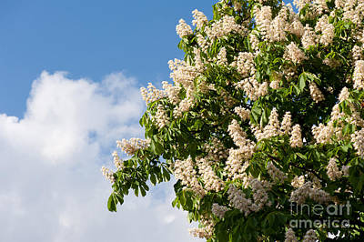 blooming Aesculus on blue sky in sunlight  Print by Arletta Cwalina