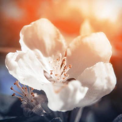 Sun Rays Photograph - Blooming Apple Tree by Konstantin Sevostyanov